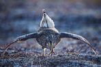 columbian sharp-tailed grouse, lek
