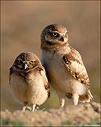 Pair of Burrowing Owl Chicks