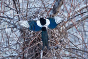 Magpie Nest Arrival
