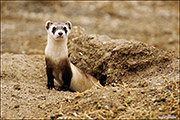 National black-footed ferret Conservation Center, Fort Collins, endangered