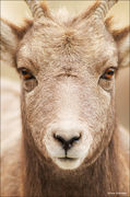 Bighorn Sheep Juvenile Portrait