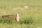 black-tailed prairie dog, relocation