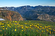 wildflowers, beartooth pass