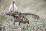 sharp-tailed grouse, lek