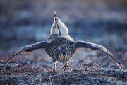columbian sharp-tailed grouse, lek