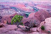 Utah juniper, Green River, Dead Horse Point State Park