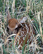 white-tail fawn, Rocky Mountain Arsenal NWR