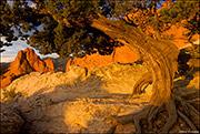 South Gateway Rock, juniper, Garden Of The Gods