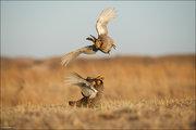 Greater Prairie Chicken Fight