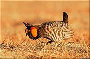 Greater Prairie Chicken Male on Lek