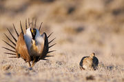 Greater Sage-grouse Display