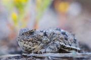 Greater Short-Horned Lizard Closeup