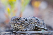 Greater Short Horned Lizard Closeup