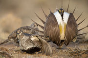 Sage-grouse Submission