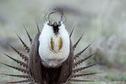 Greater Sage-grouse, lek