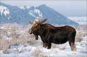 bull moose, Antelope Flats, Blacktail Butte, Gran Teton National Park, Wyoming