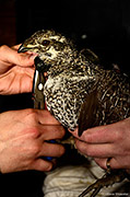 Collaring a Female Gunnison Sage-Grouse