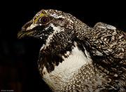 Gunnison Sage-grouse Male