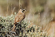 horned lark, pinedale mesa