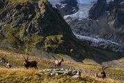 ibex, alps