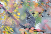 Ruffed Grouse in Tie-dye Forest