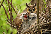 Long-eared owl, Rocky Mountain Arsenal NWR