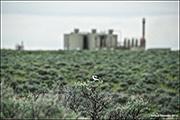 Loggerhead Shrike In Gas Field