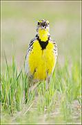 western meadowlark, prairie