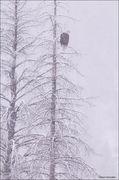 bald eagle, north fork of the shoshone river