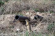Ground Squirrels in Disturbance