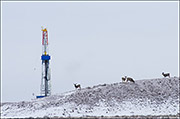 pinedale mule deer herd, natural gas drilling