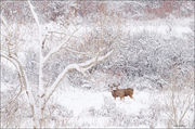 mule deer, winter, south boulder creek
