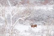 Mule Deer Snow Scene