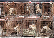 Trapped Black-tailed Prairie Dogs