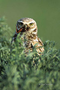 burrowing owl, Rocky Mountain Arsenal NWR