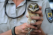 burrowing owl chick, west nile disease