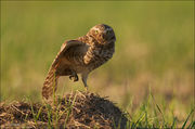 burrowing owl, prairie dog burrow