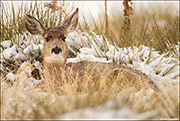 mule deer doe, winter storm