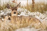 Mule Deer Winter Bed