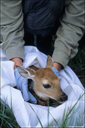 Collared White-tailed Fawn