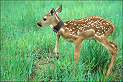 White-tailed Fawn With Collar