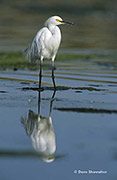 snowy egret, Rocky Mountain Arsenal NWR