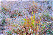 native grasses, Moraine Park, Rocky Mountain National Park