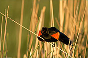 red-winged blackbird, wetland