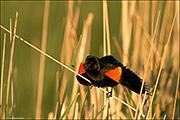 Red-winged Blackbird Call