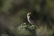 sage thrasher, nest