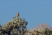 Soda Lake Wildlife Management Area, sage thrasher