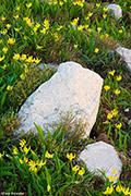 glacier lilly, wildflower