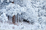 poderosa pine, hoar frost