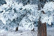 ponderosa pine, front range